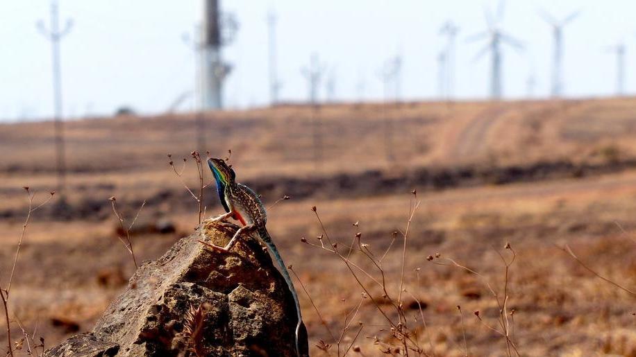 Eidechse Sarada superba in den Western Ghats, Indien