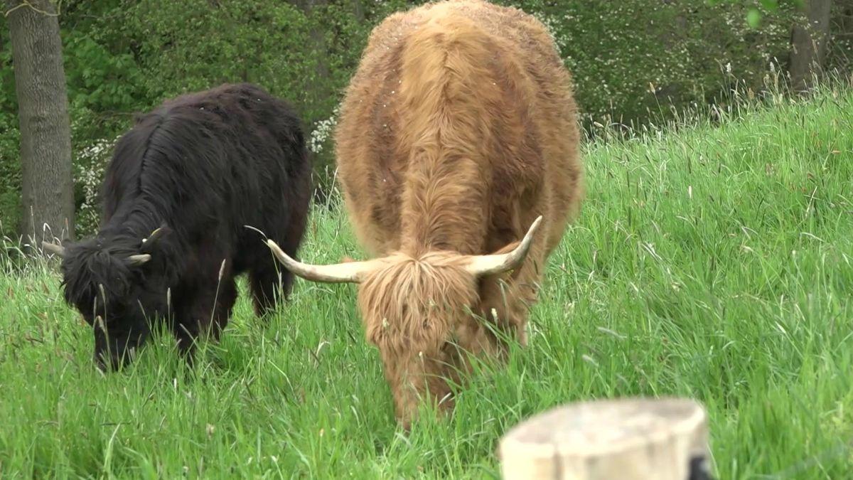 Schottische Hochland-Rinder sollen für mehr Insektenvielfalt sorgen.