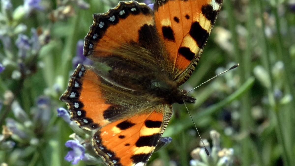 """Schmetterling der Art """"Kleiner Fuchs"""" auf einer blauen Lavendelblüte."""