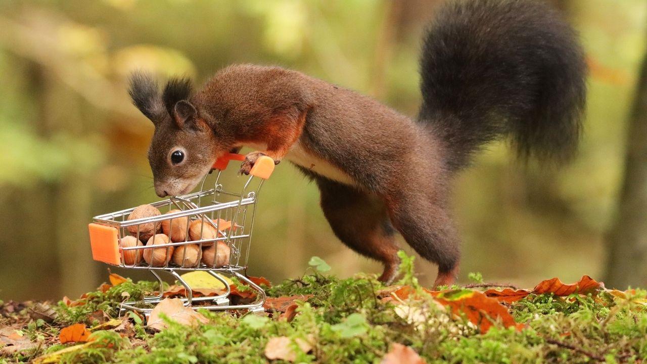 Ein Eichhörnchen, das sich über einen winzigen Einkaufswagen beugt, der voller Haselnüsse ist.