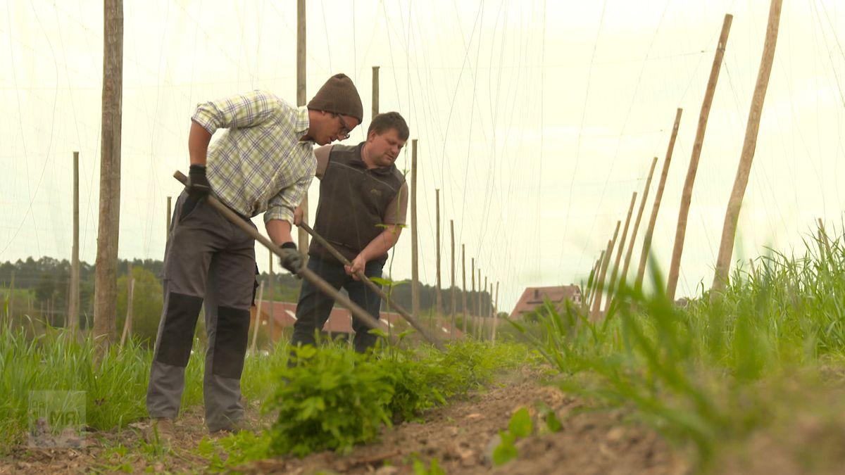 Ein Bauer und ein neuer Saisonarbeiter stehen in einem Hopfenfeld. Links und rechts stehen die Holzpfähle an denen der Hopfen hochwachsen soll.