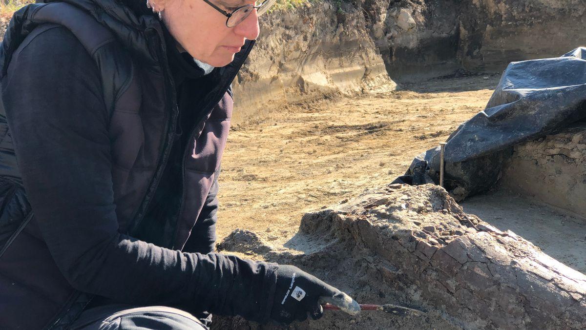Archäologin legt Stoßzahn eines Mammuts frei.