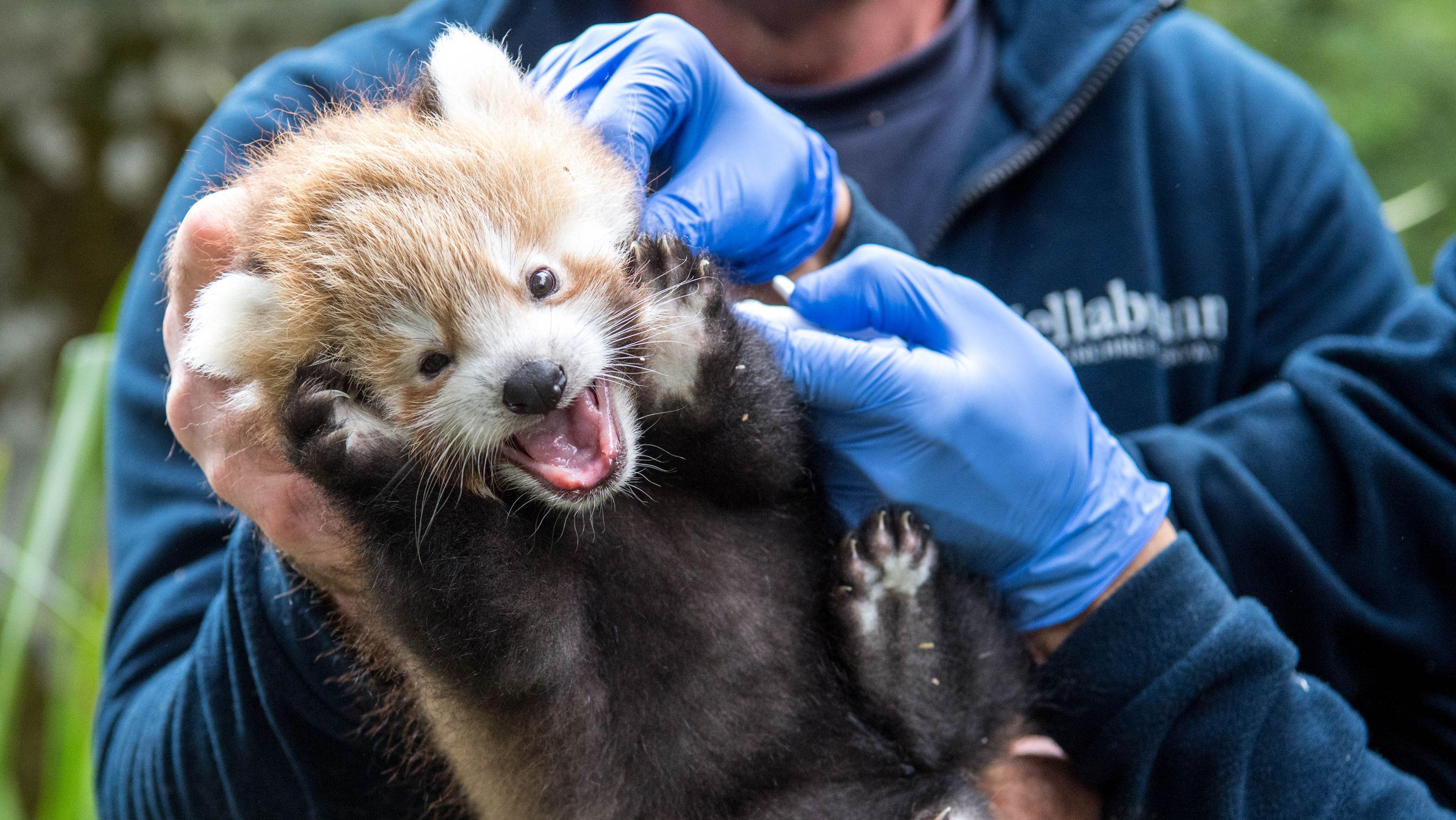 Der Nachwuchs der Roten Pandas im Münchner Zoo bei der ersten tierärztlichen Untersuchung