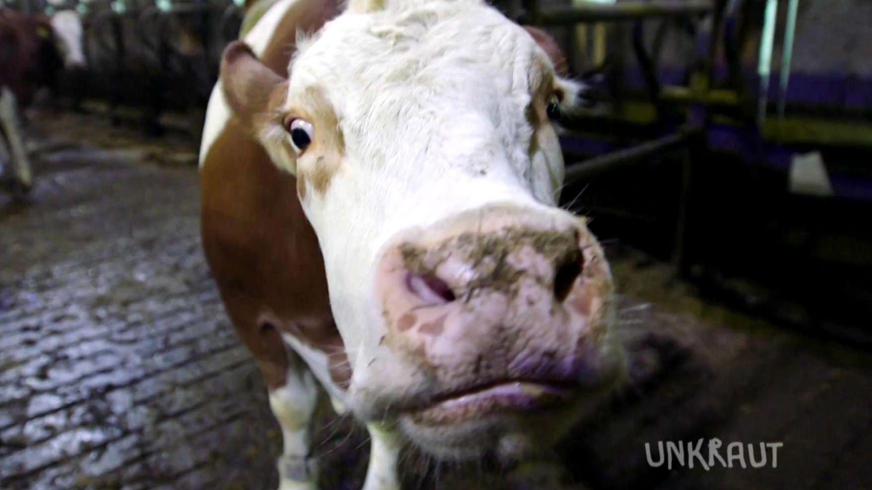 Die Kuh Tinka im Stall