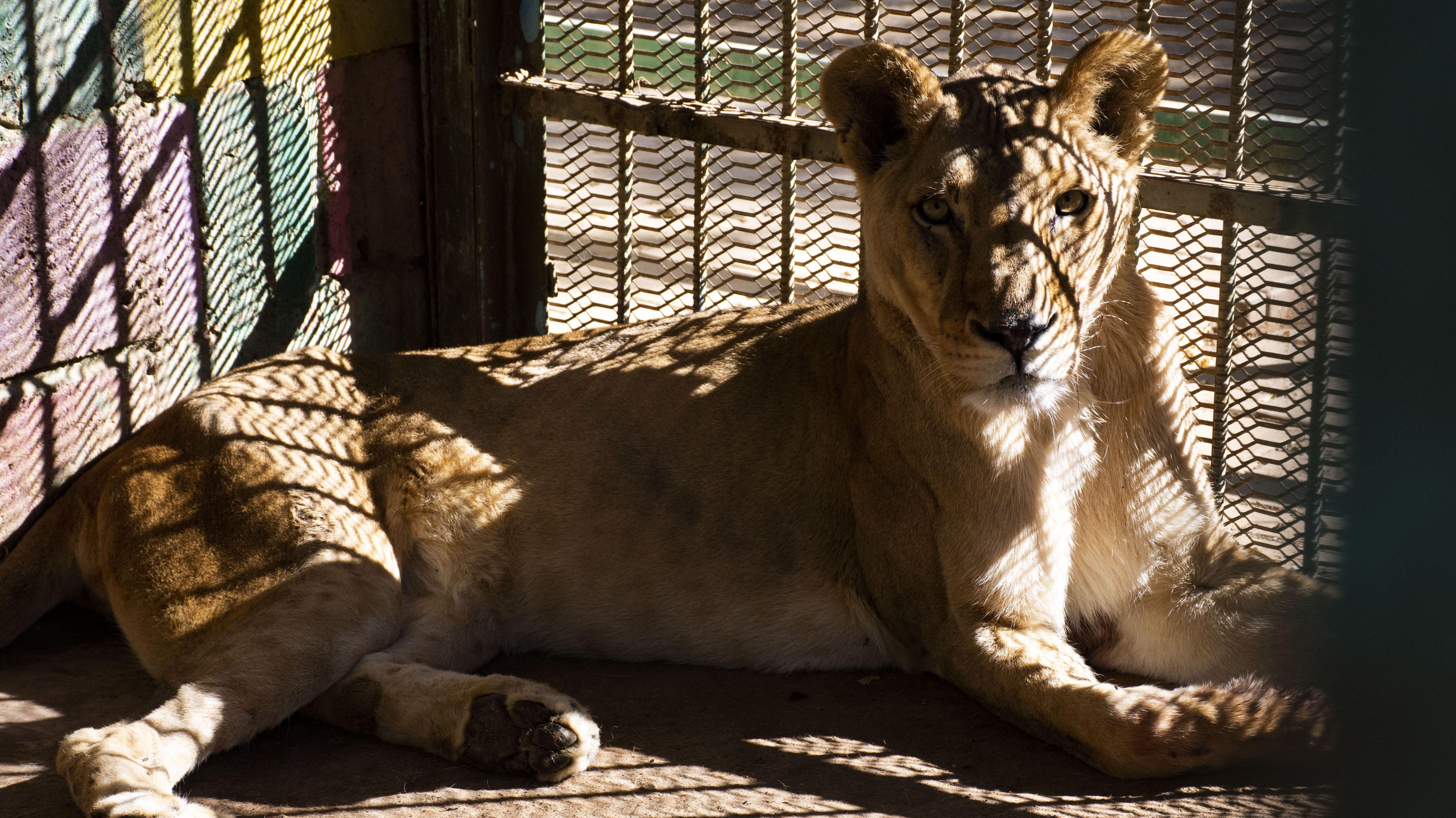 Löwe im Zoo im Sudan