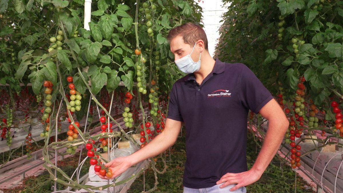 Wolfgang Steiner begutachtet Tomaten im LED-Gewächshaus