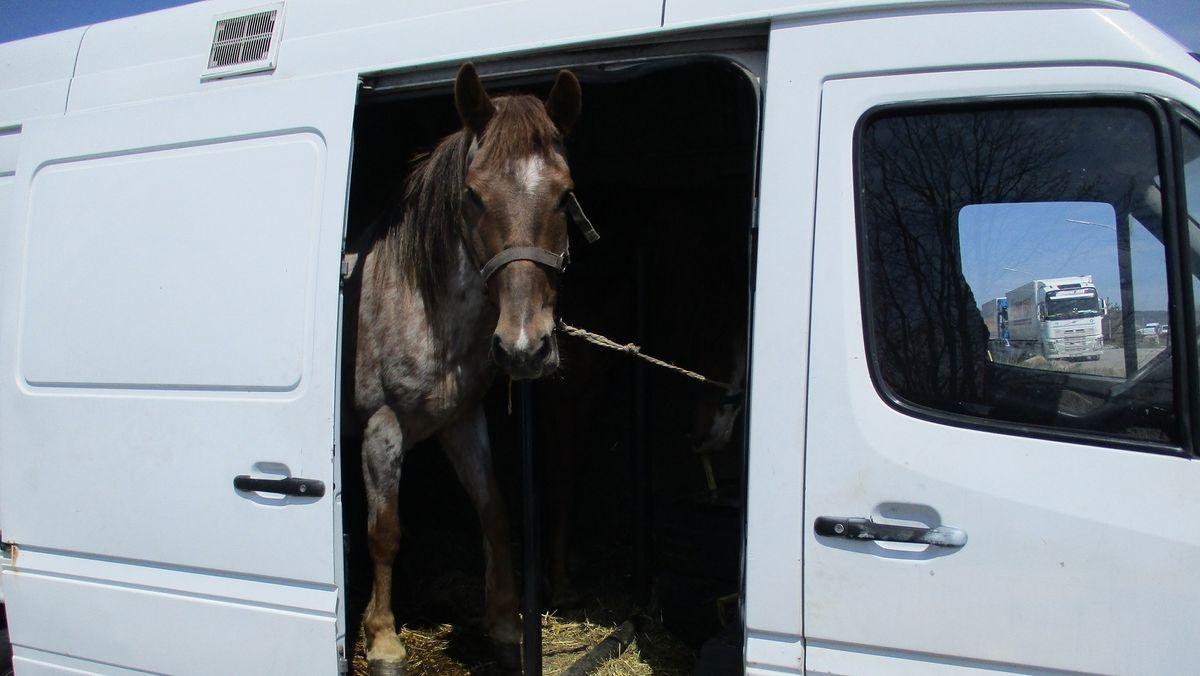 Pferd auf der Ladefläche eines Kleintransporters