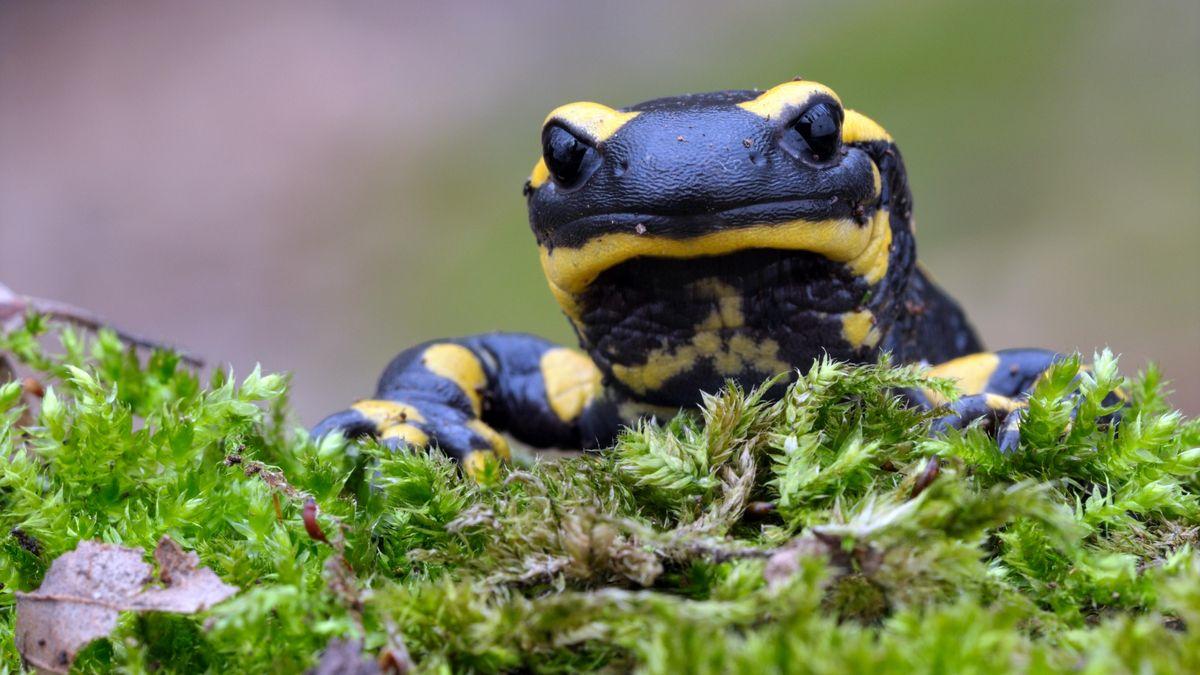 Feuersalamander und andere Amphibien sind vom Hautpilz Bsal (Batrachochytrium salamandrivorans) bedroht.
