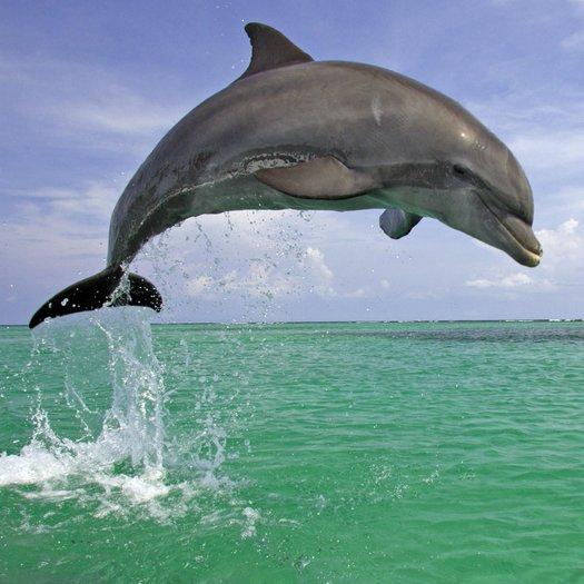 Delfine - Schlau, sozial und rätselhaft - radioWissen | BR Podcast