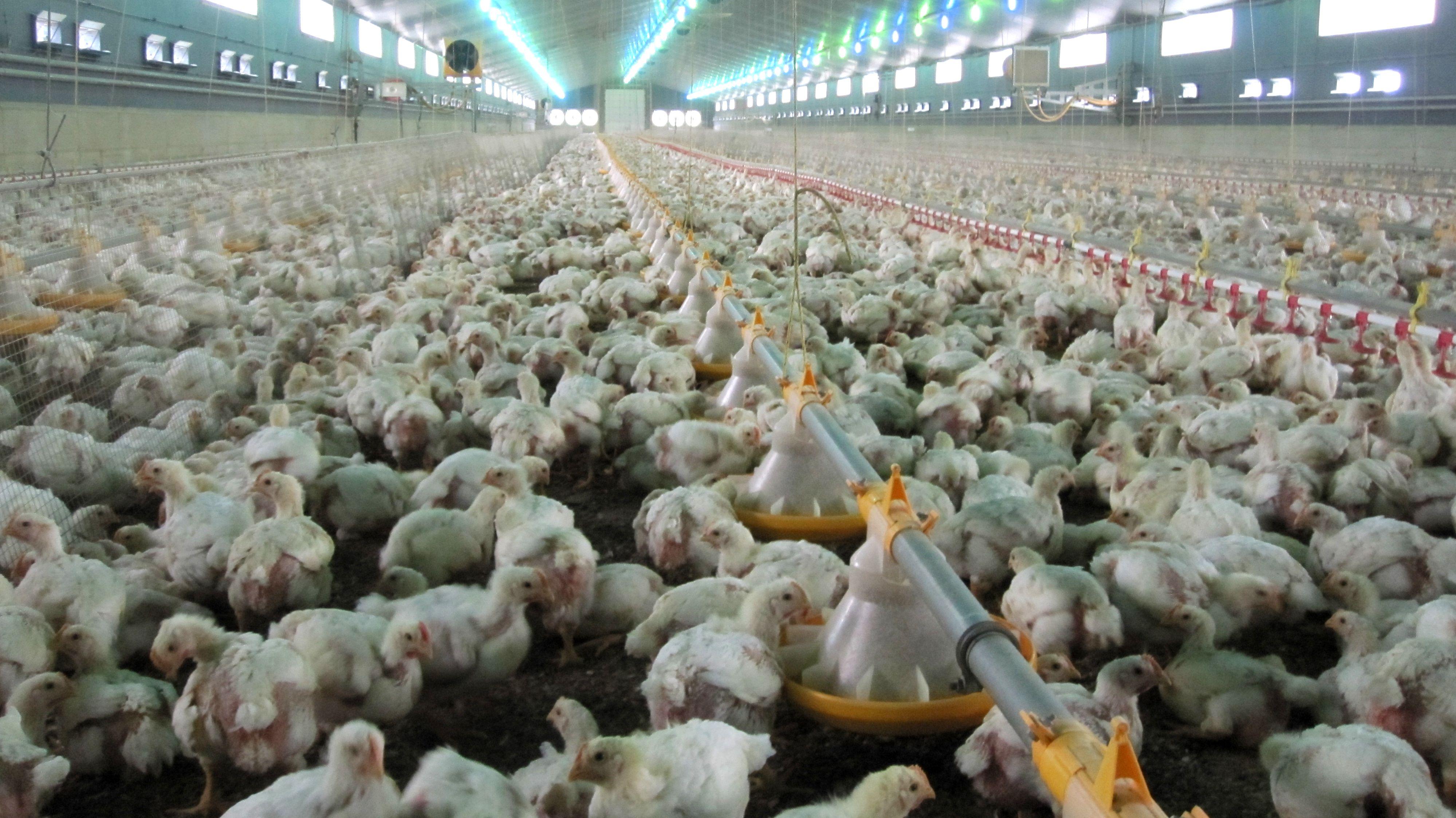 Masthühner in einer Großanlage.