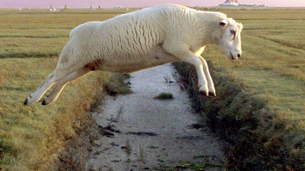 Schaf auf dem Sprung