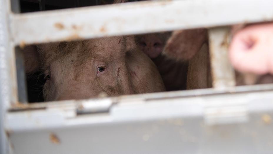 Ein Schwein schaut aus einem Tiertransporter.