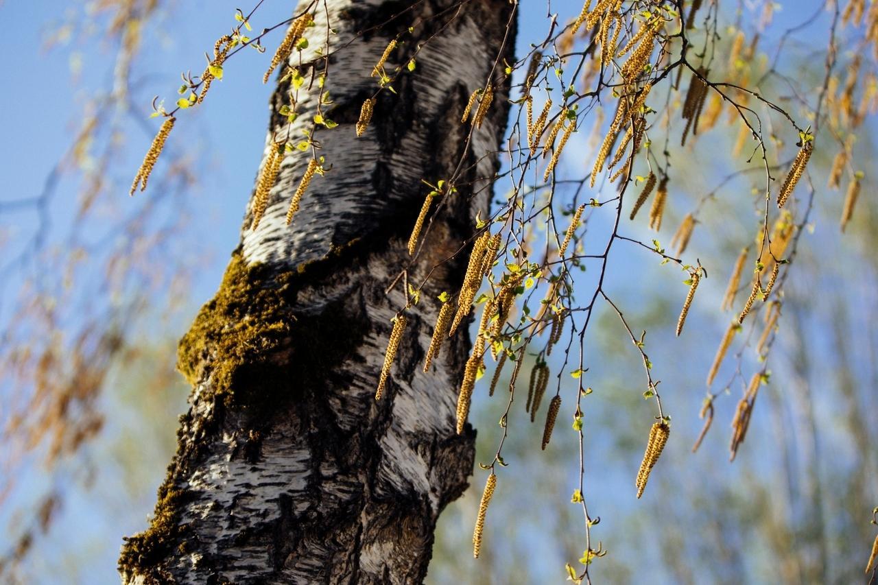 Mehr Coronavirus-Infektionen bei stärkerem Pollenflug