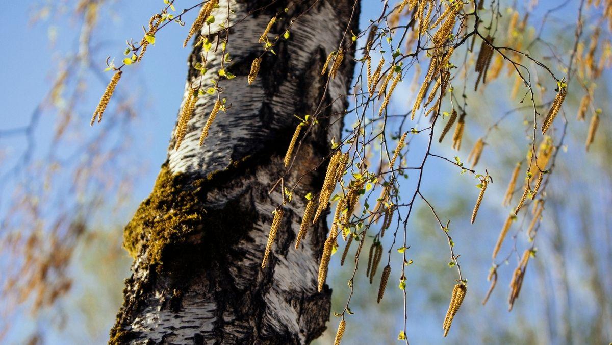 Eine Birke im Frühling