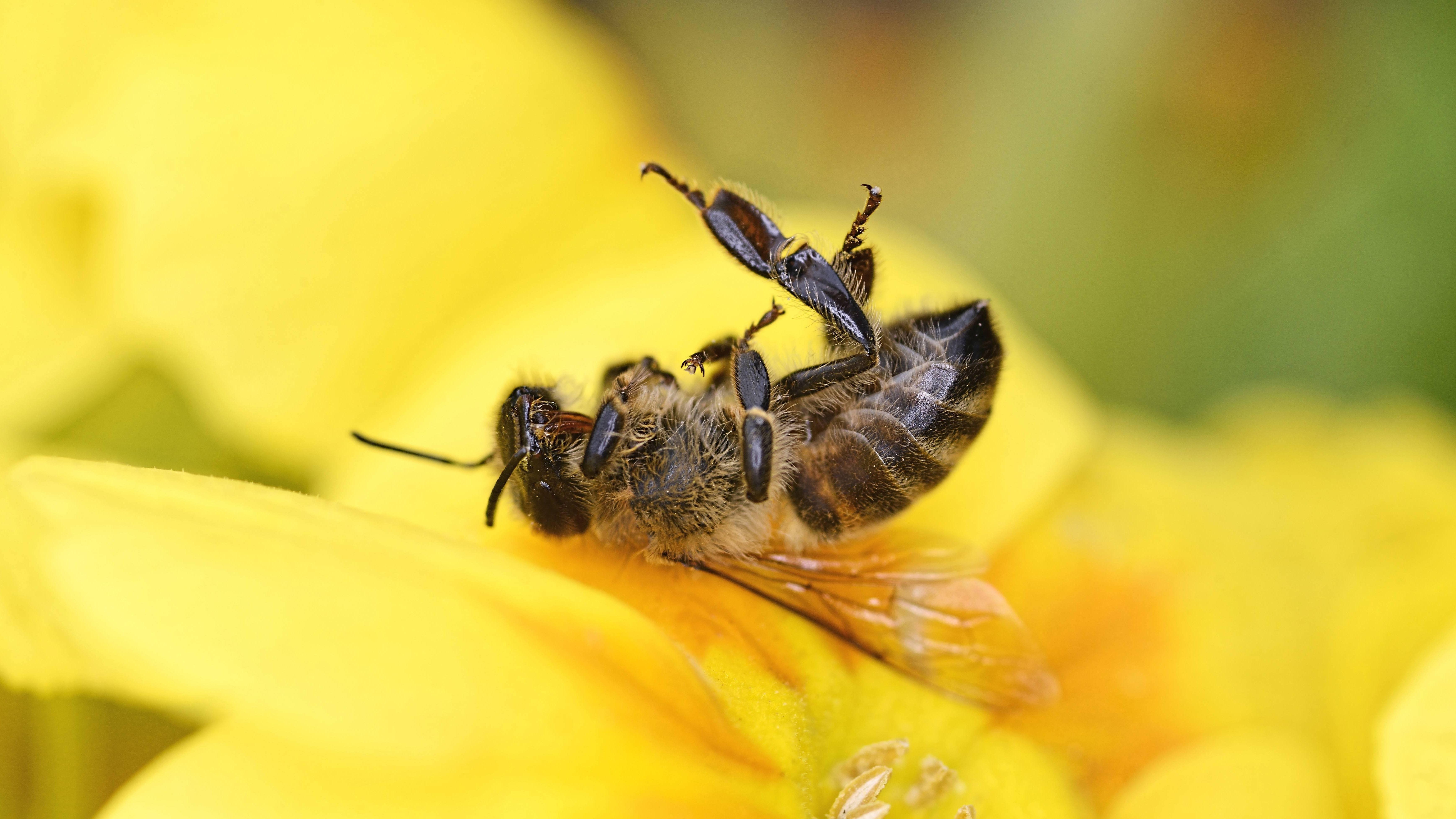 Eine tote Biene liegt auf einer gelben Blüte