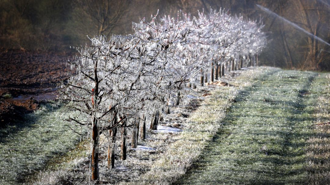 Mit Eis überzogene Obstbäume