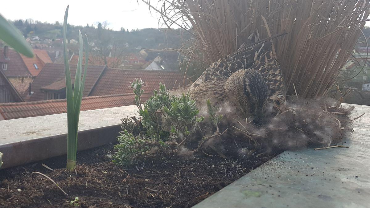 Balkonente Emma in ihrem Nest