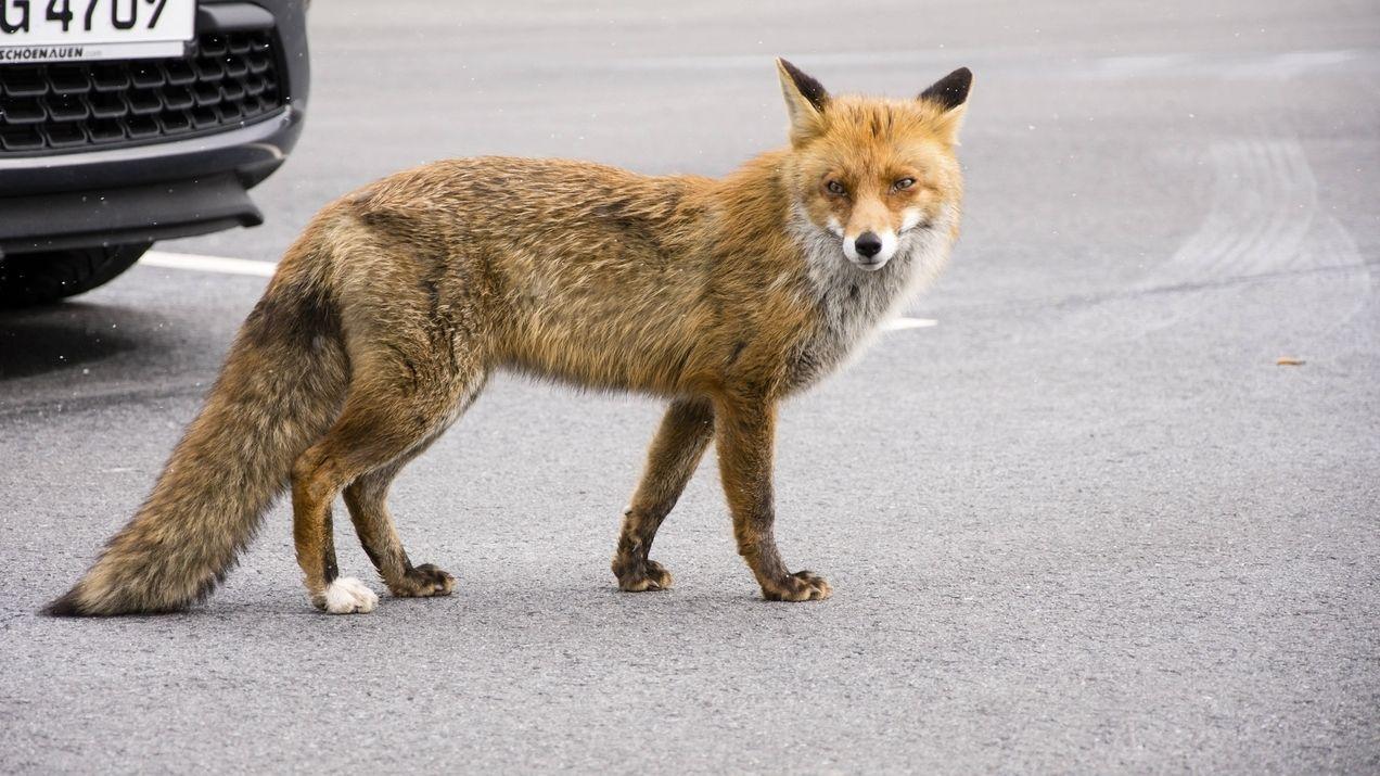 Fuchs in der Stadt (Symbolbild)