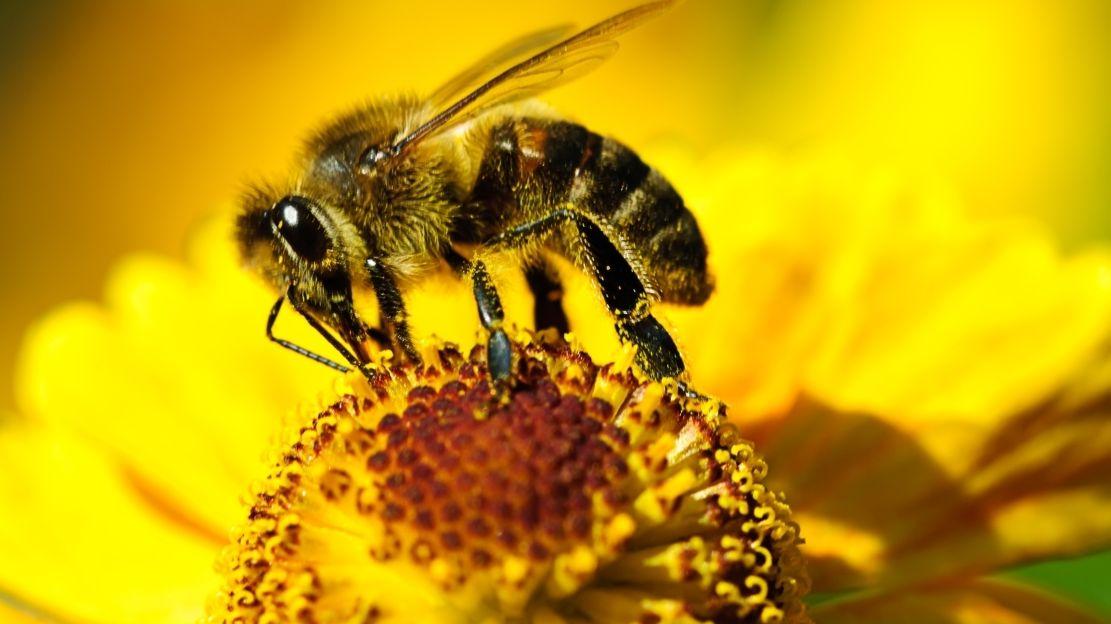 """Biene sitzt auf Blume als Symbolbild für die Schulprojekte """"Insektenfreundliche Wiese"""" oder """"eigener Honig"""""""