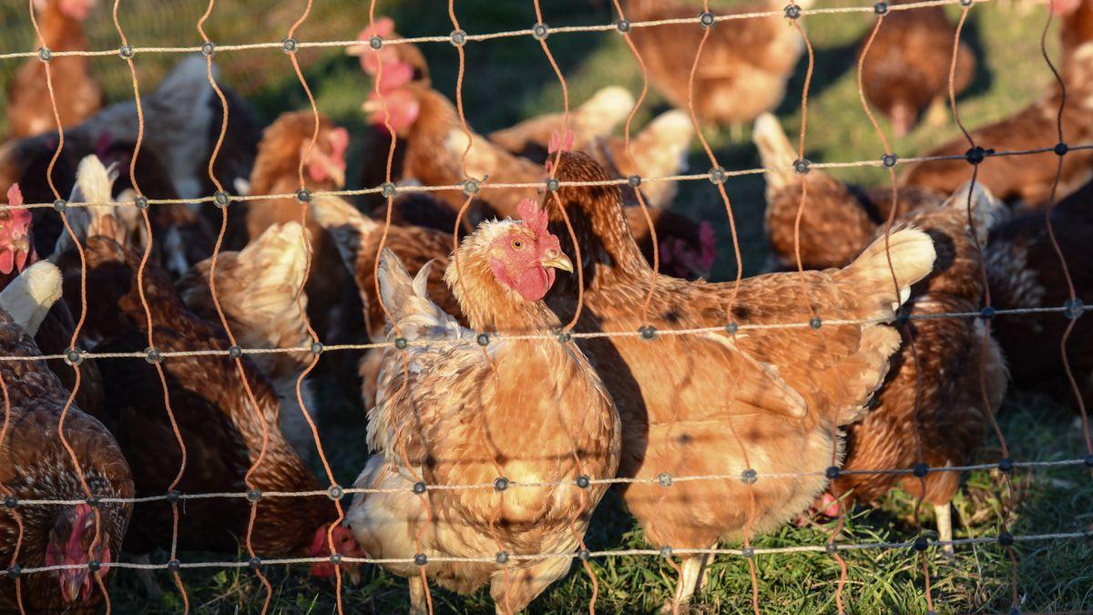 Für Geflügelhalter mit bis zu 1.000 Tieren gelten ab sofort strenge Hygienevorschriften.