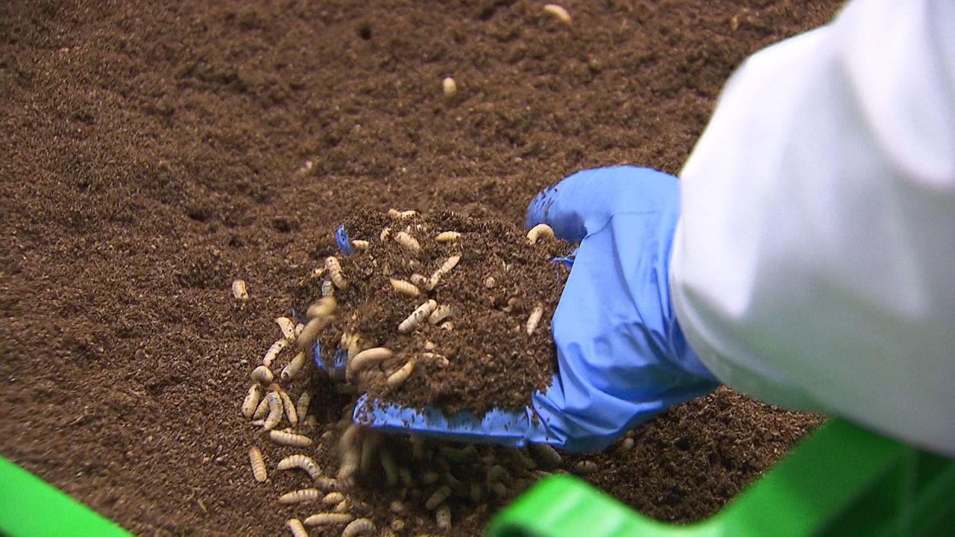Insektenfarm in den Niederlanden
