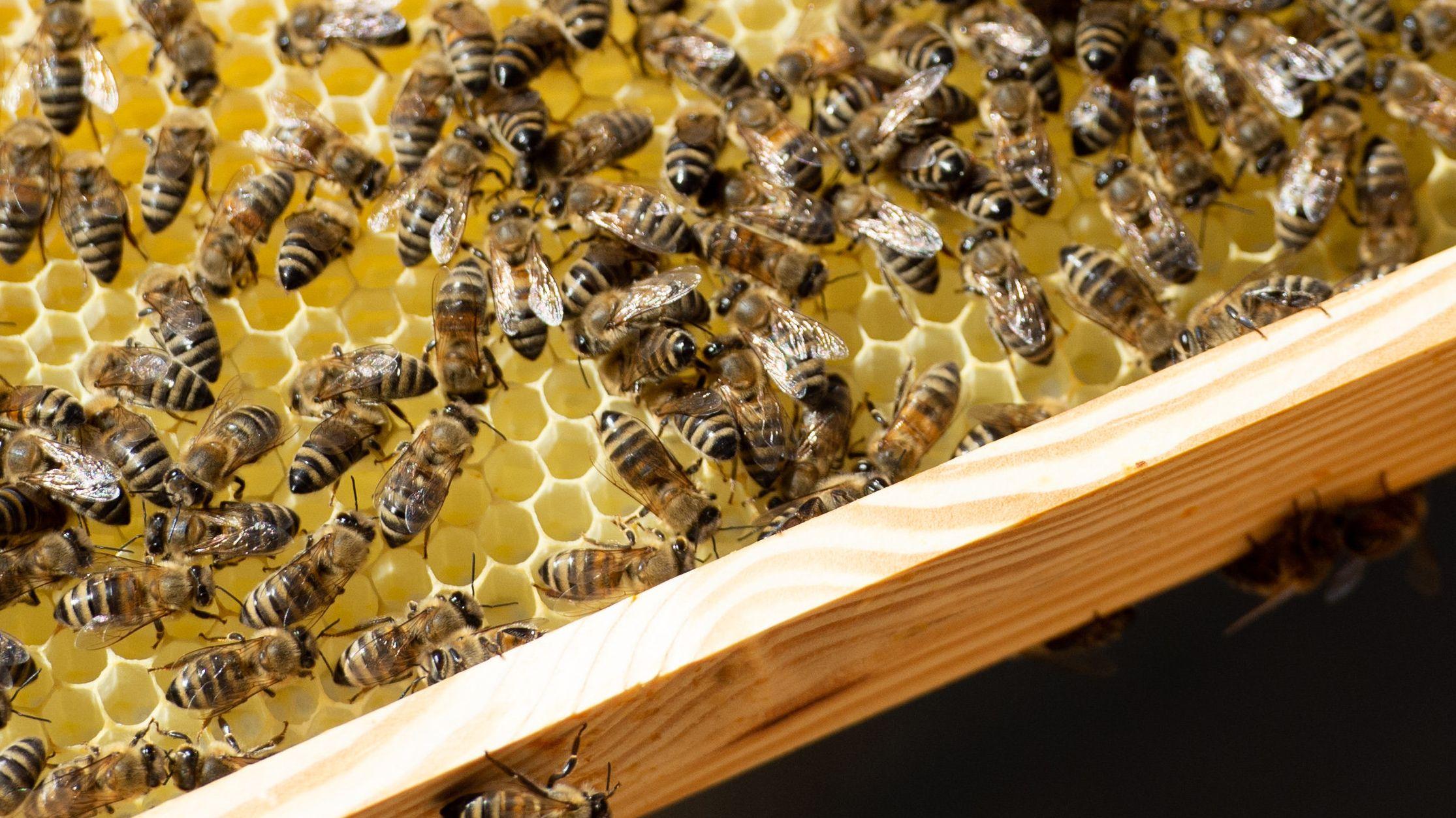 Bienen auf Waben eines Bienenstocks