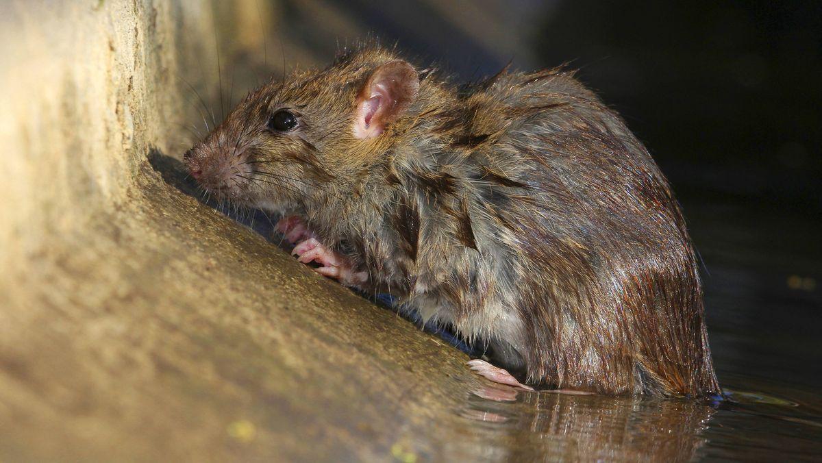 Ratte klettert durch Kanalrohr in ein Badezimmer in Augsburg (Symbolbild)