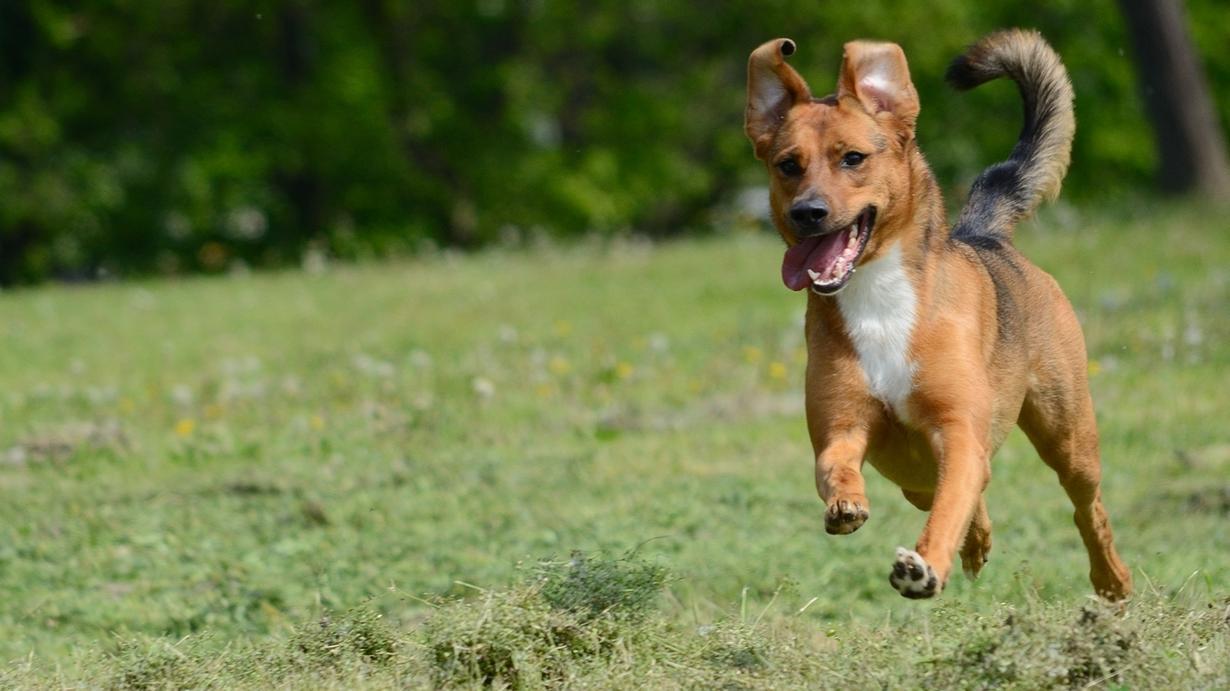 Ein Hund läuft über eine Wiese.