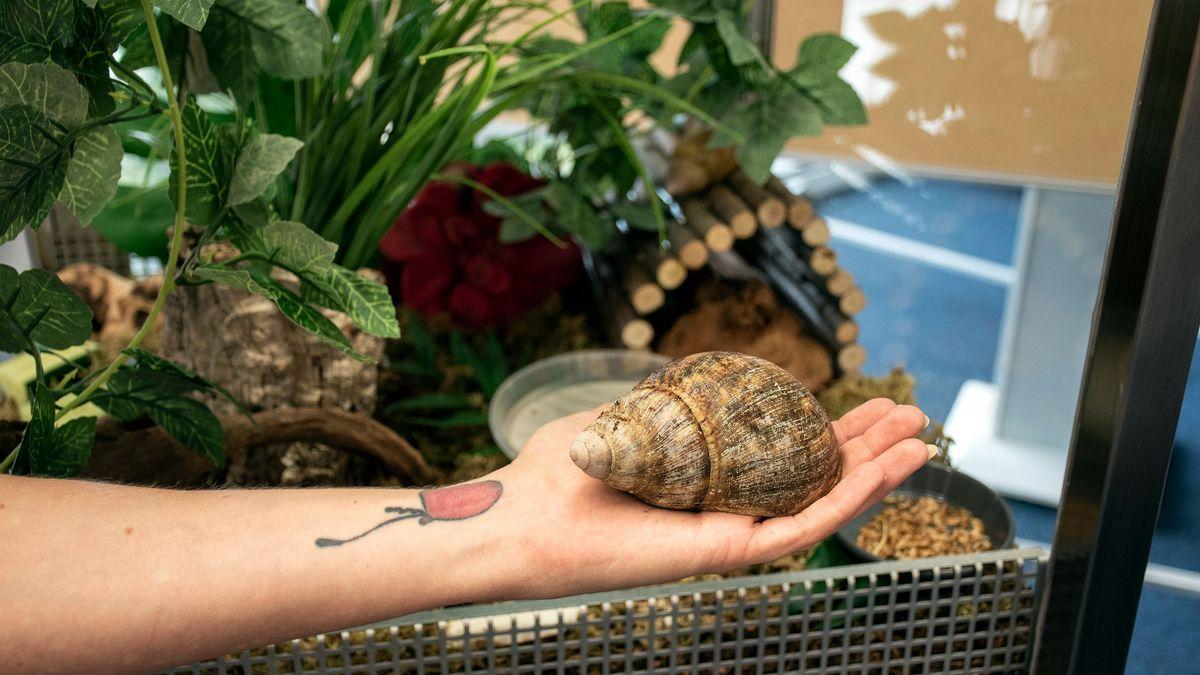 Eine Hand hält eine große Achatschnecke