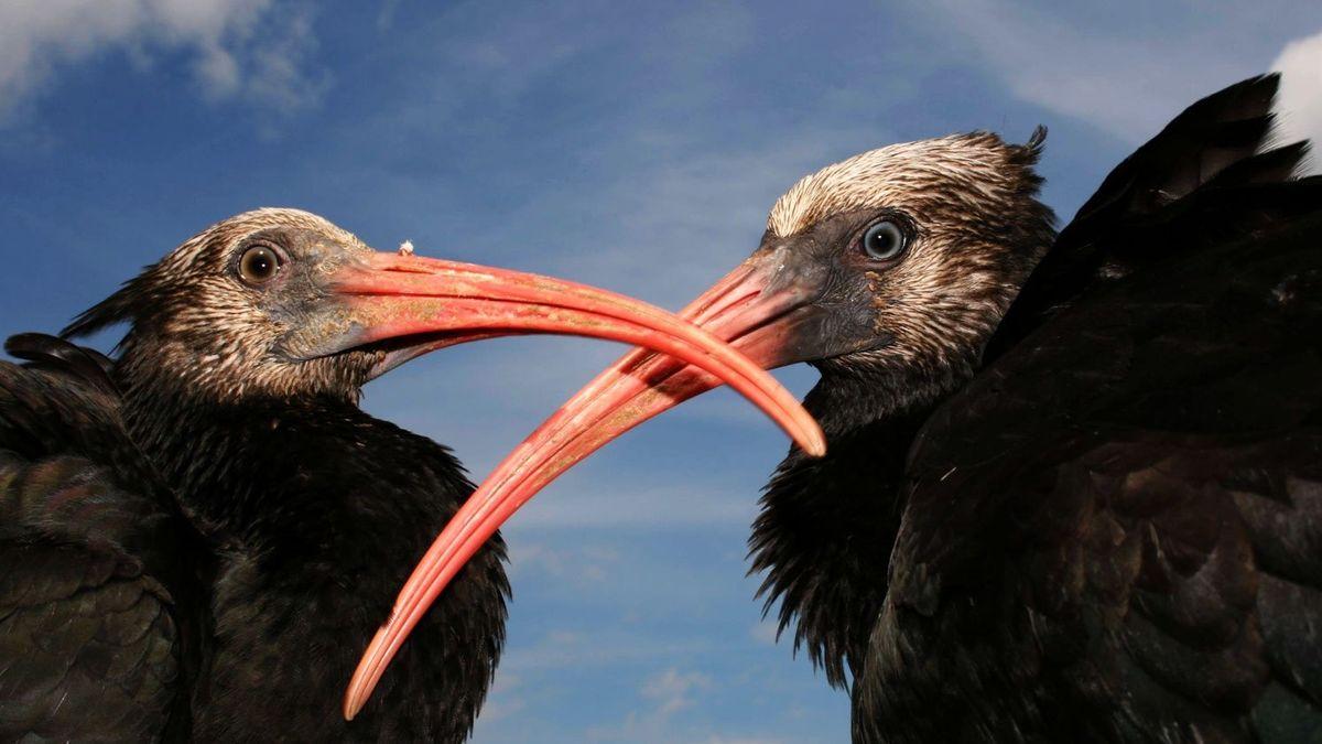 Zwei Waldrapp-Jungvögel