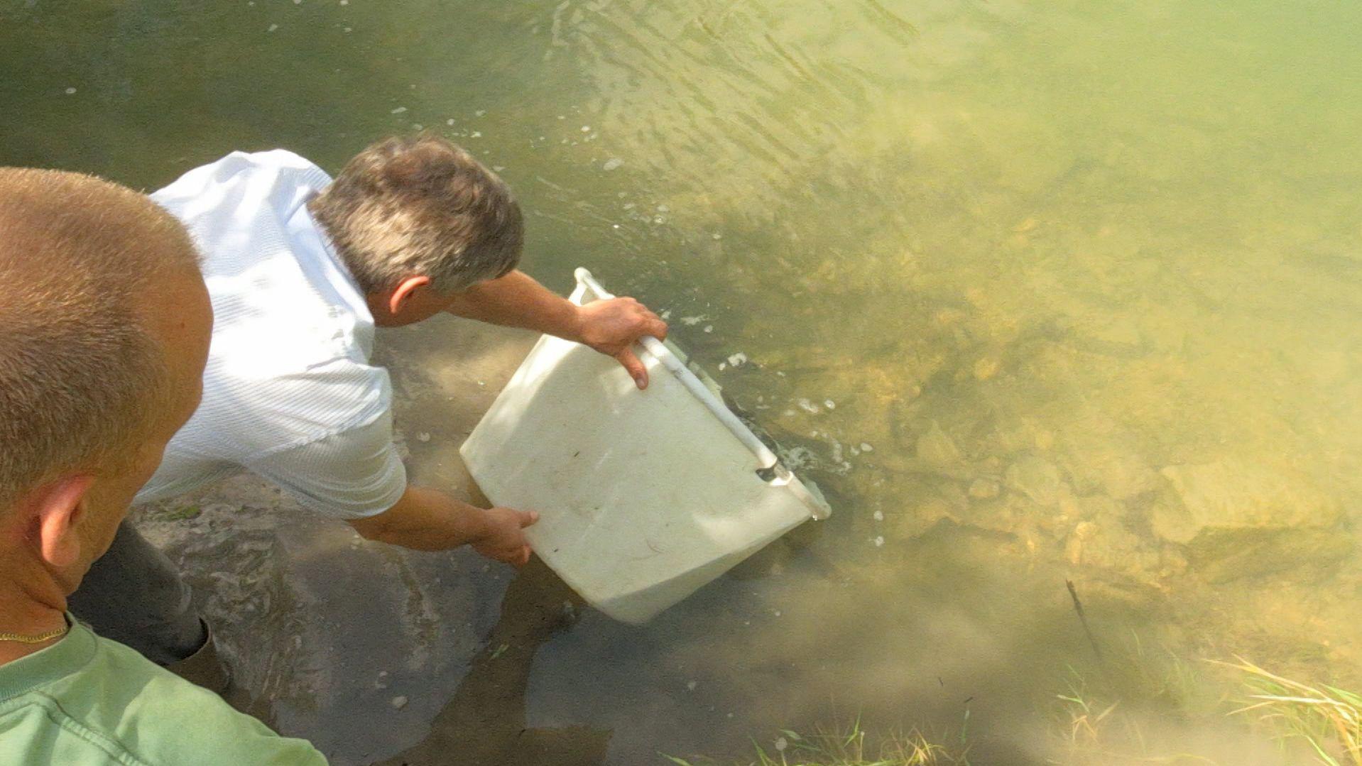 Äschen, eine der bedrohten Fischarten in Bayern, werden in der Loisach wieder in die Freiheit entlassen.