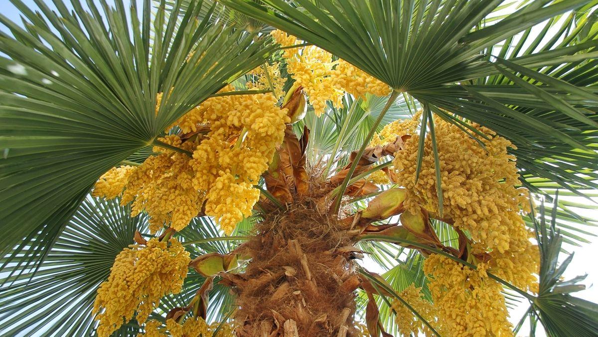 Blick in die Baumkrone einer ausgewachsenen Hanfpalme mit Blütenständen.