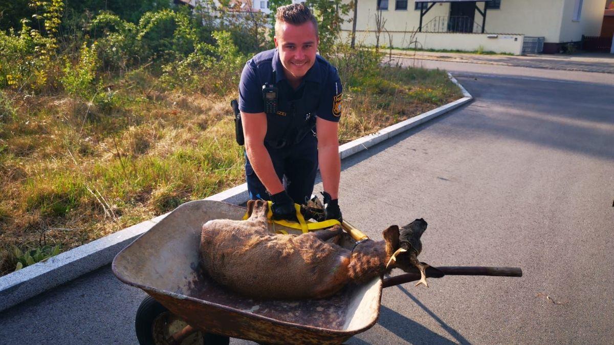 Einer der beiden Polizisten mit dem eingefangenen Rehbock