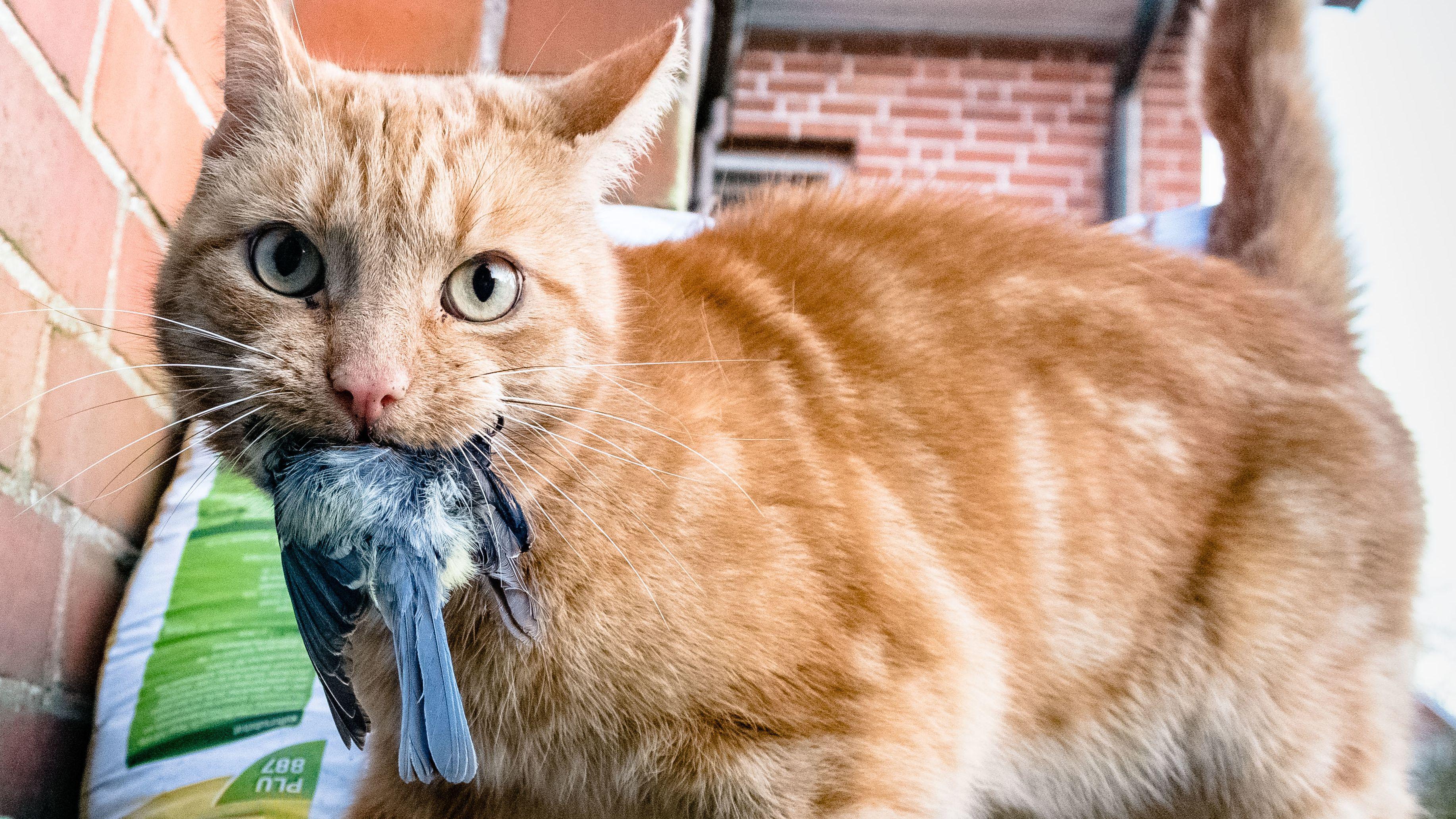 Katze mit Blaumeise im Maul