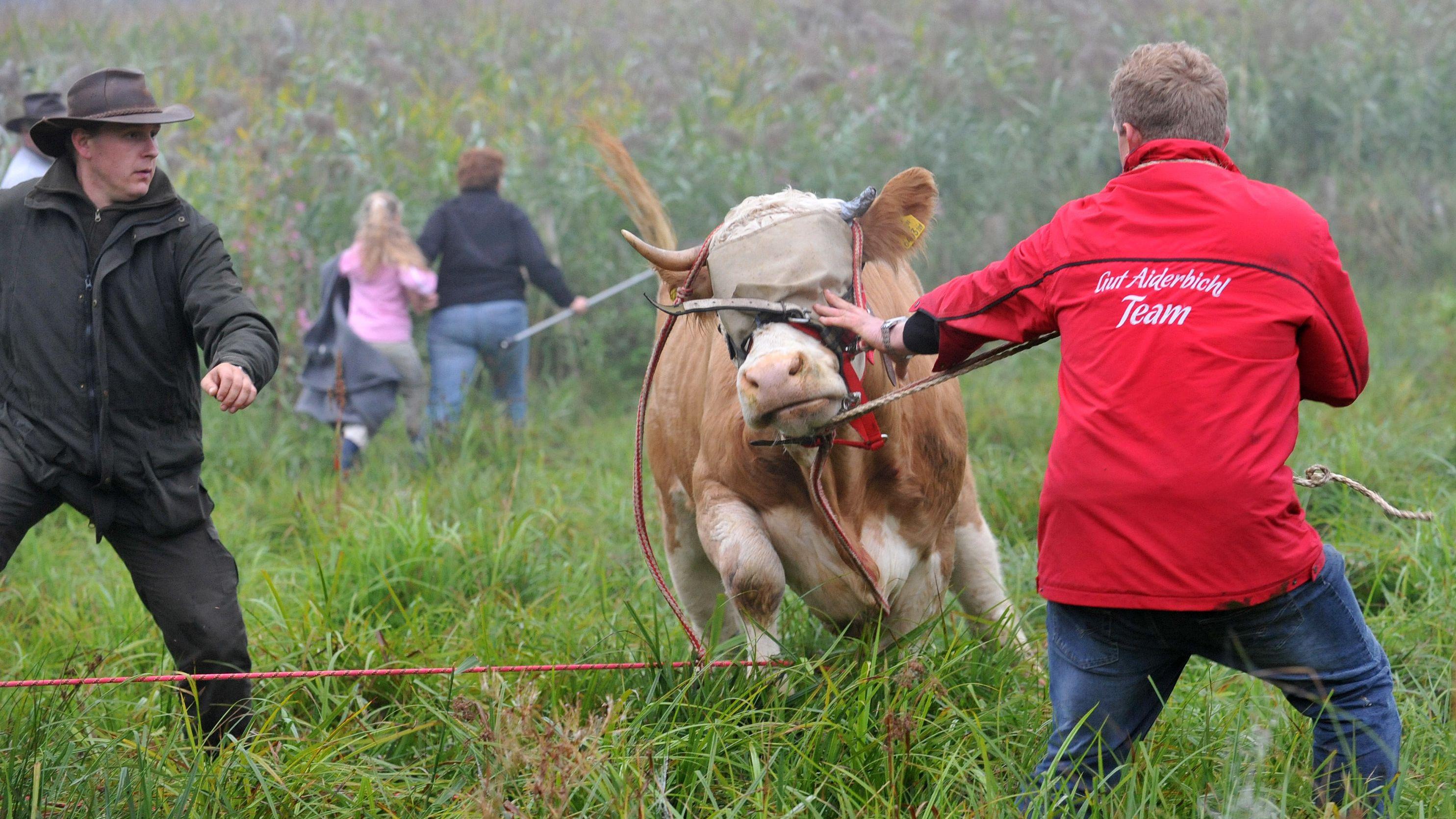 Ende einer Flucht: Kuh Yvonne wurde 2011 auf einer Wiese gefasst