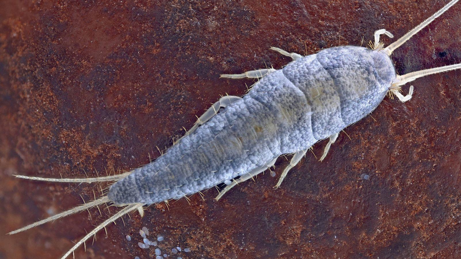 Viele Menschen ekeln sich vor den flinken, lichtscheuen Insekten und  fürchten sich davor, dass die Tiere Krankheiten übertragen könnten. Das  Gegenteil trifft zu: Silberfischen in den eigenen vier ...
