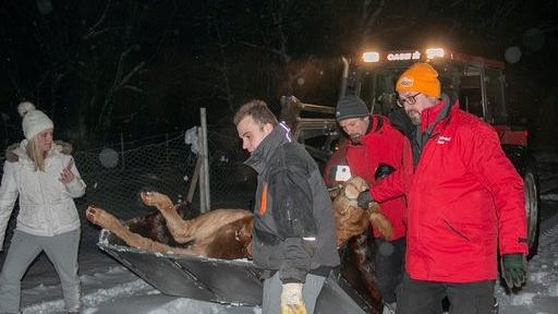 Die wilde Kuh musste am späten Abend mit einem Bulldog abtransportiert werden.