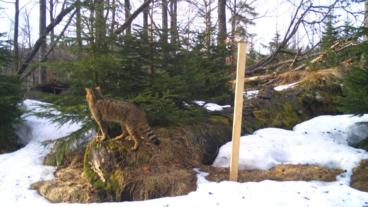 In Kombination mit den Kamerafallen werden angeraute Holzpfähle mit Baldriantinktur besprüht, dies lockt Wildkatzen an.