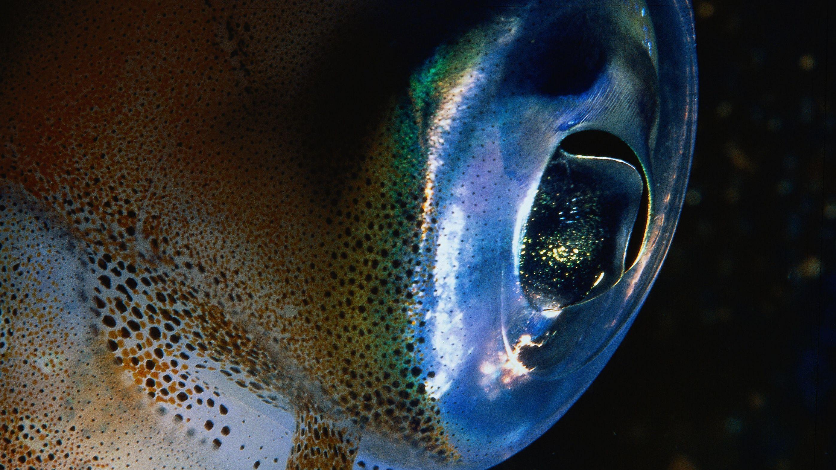 Auge eines Kopffüßer Kalmar