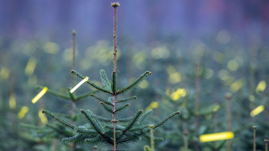 Symbolbild: Christbaumplantage