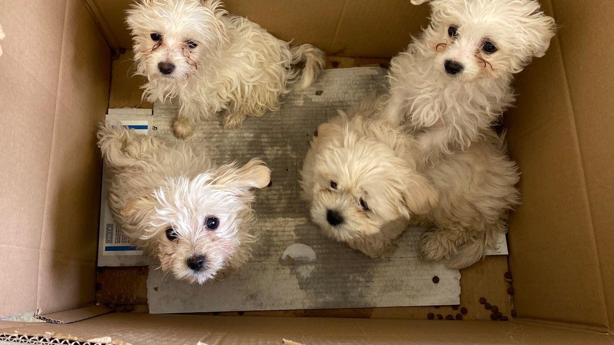 Hundewelpen in einem Karton