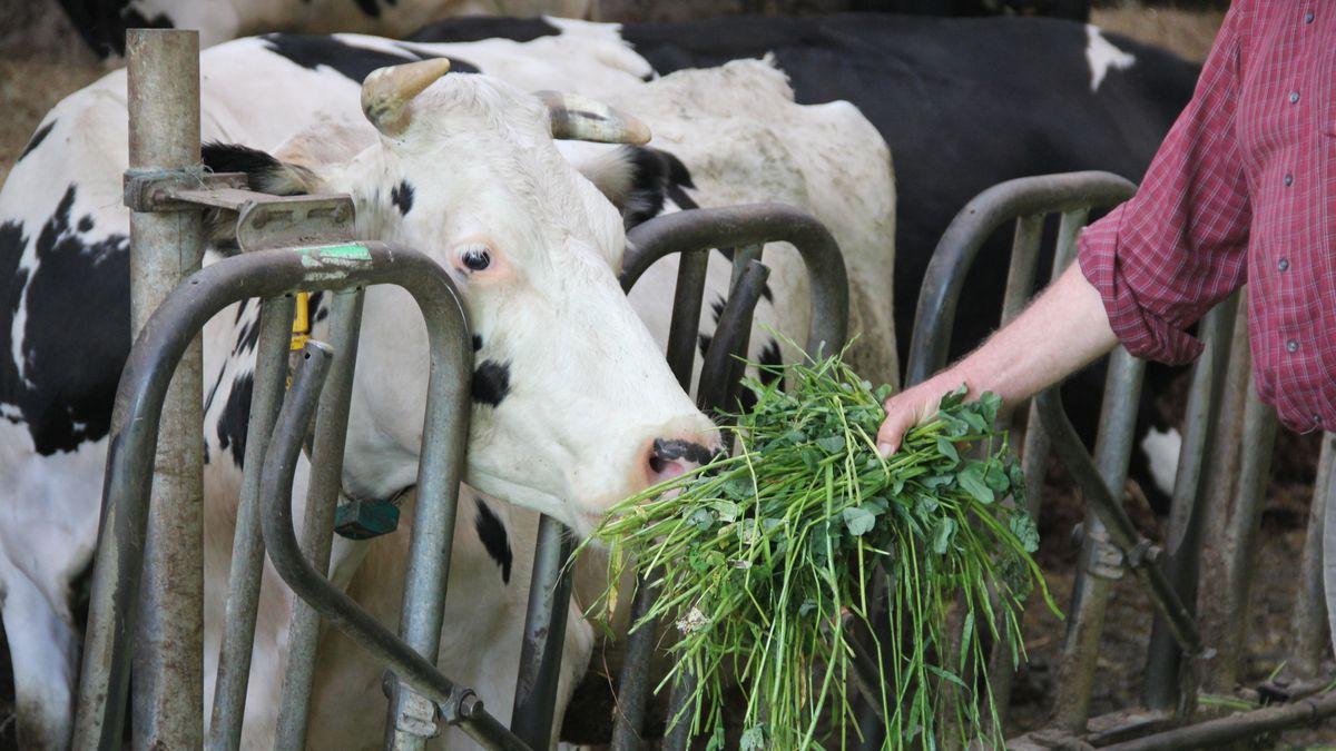 Auf einem Bio-Hof wird eine Kuh gefüttert