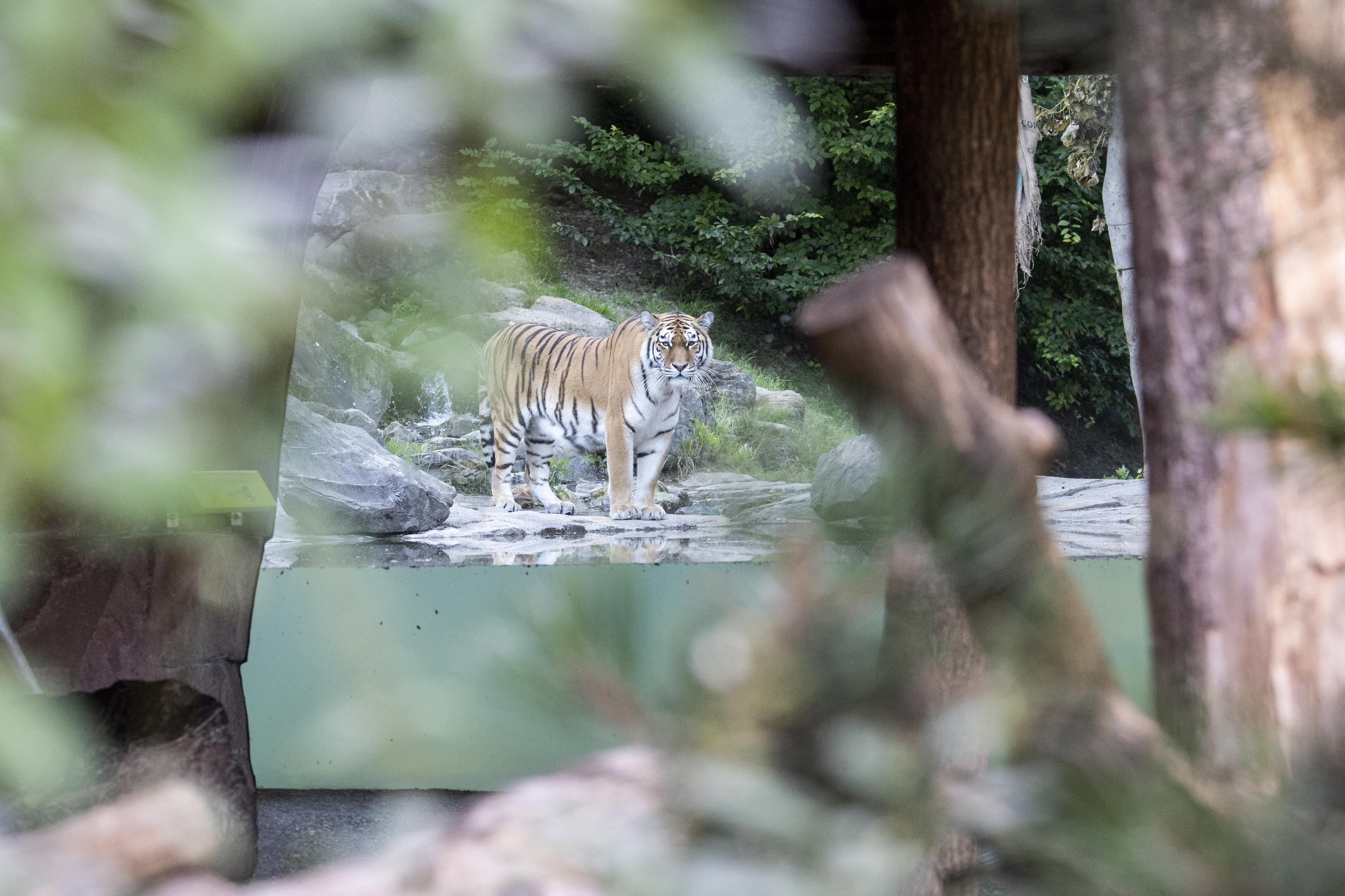 Einer von zwei Amurtigern im Gehege des Züricher Zoos