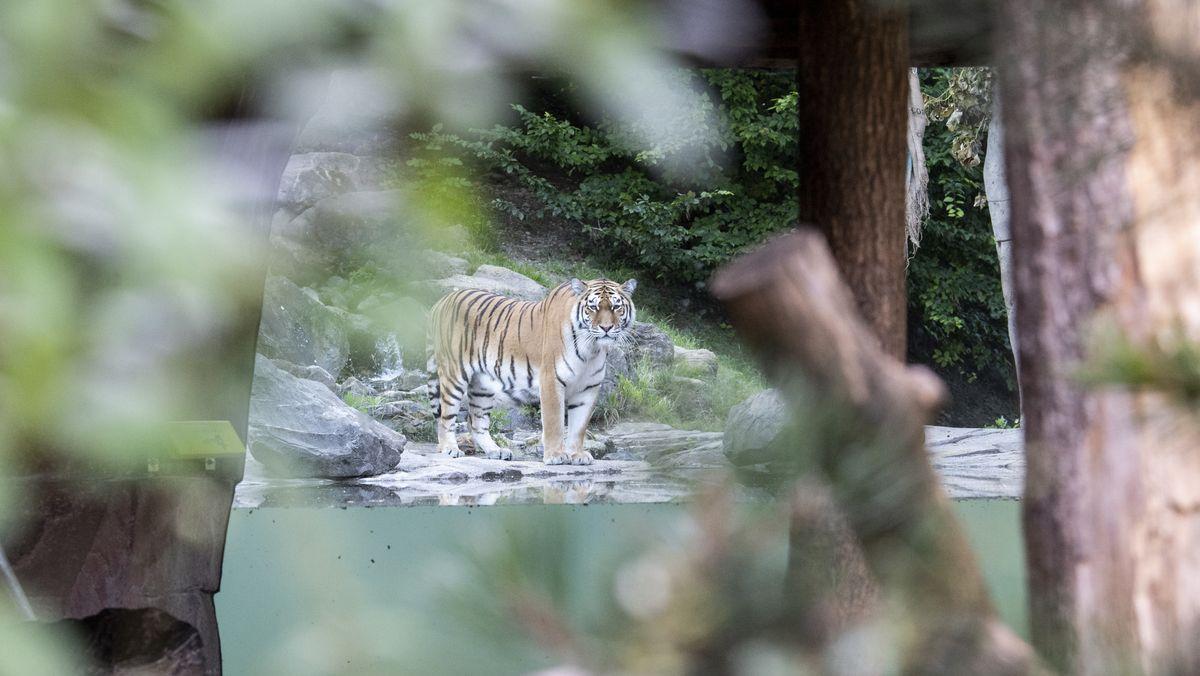 Einer von zwei Amurtigern im Gehege des Züricher Zoos.