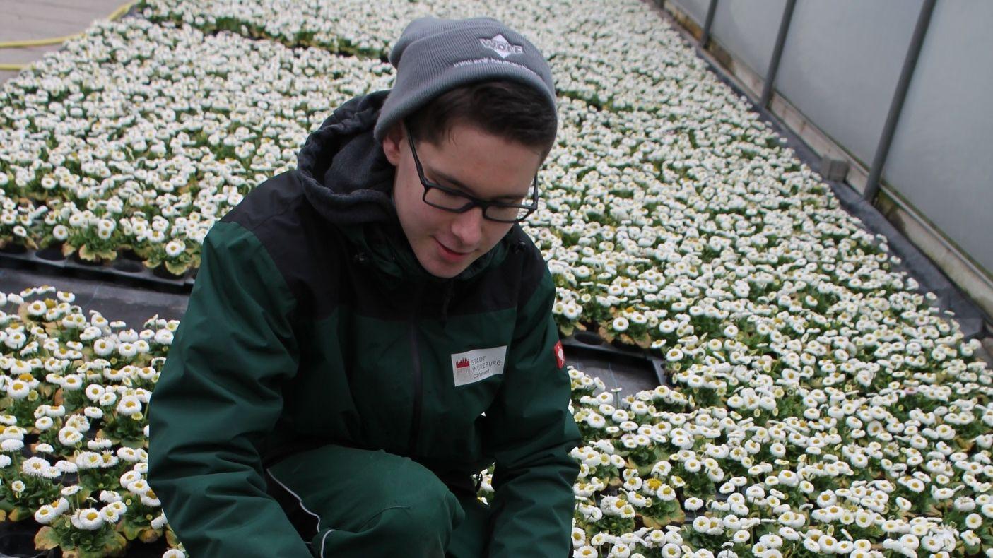 Azubi Leon Hergenröther richtet Gänseblümchen für die Pflanzung her.