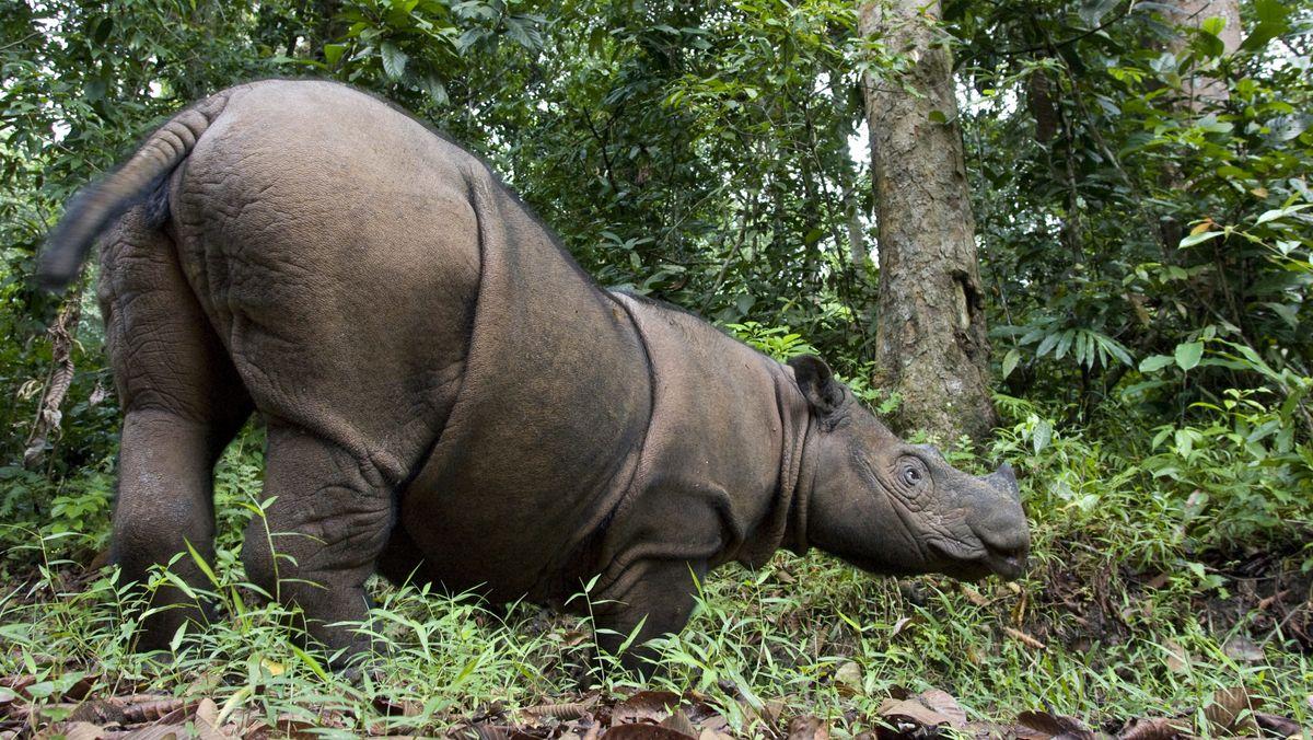 Sumatra-Nashorn im Way-Kambas-Nationalpark