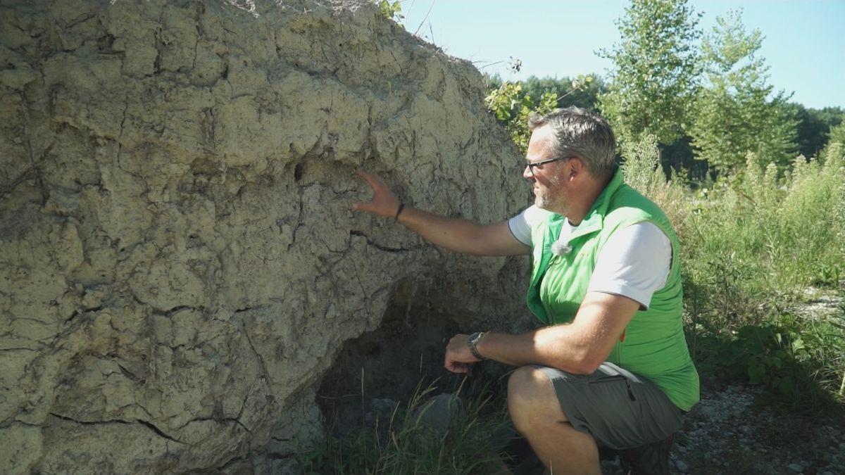 Im Wurzelstock einer umgestürzten Pappel brüten Eisvögel