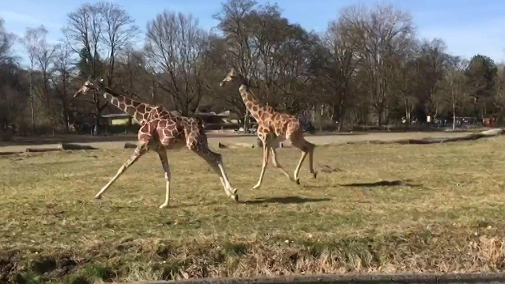 Zwei Giraffen galoppieren über eine Wiese,