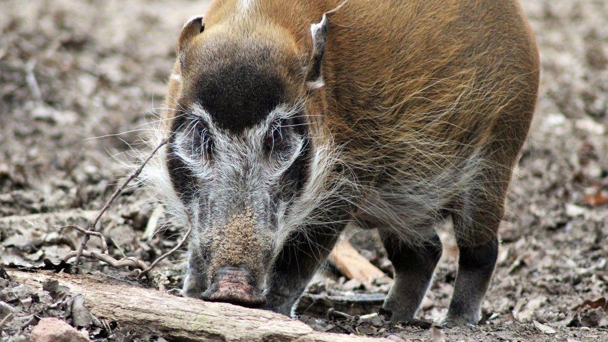 Pinselohrschwein Heidi im Nürnberger Tiergarten