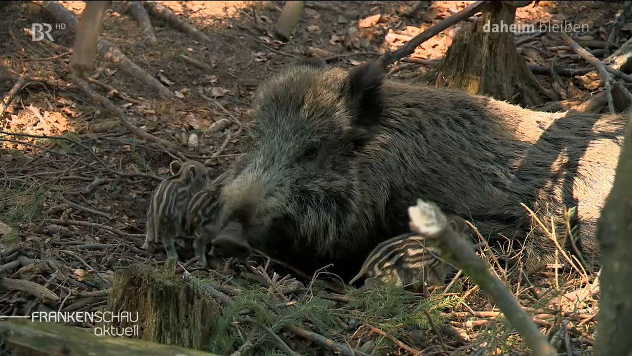 Ein Wildschwein liegt bei seinen Frischlingen